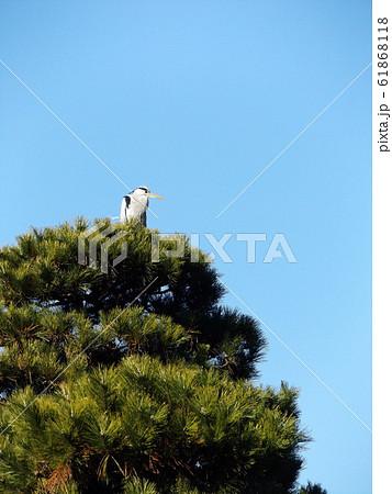 千葉公園綿打池の松の大木の上のアオサギ 61868118