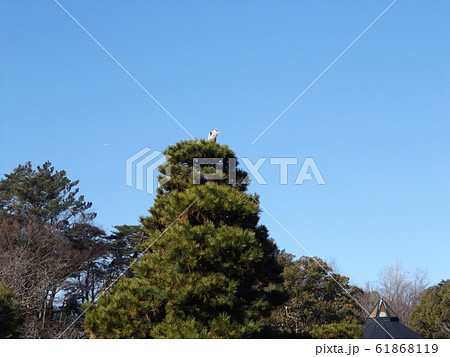 千葉公園綿打池の松の大木の上のアオサギ 61868119