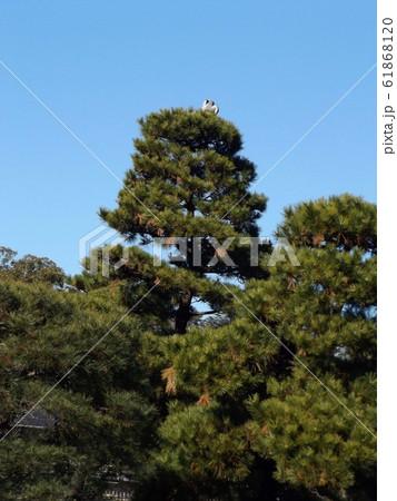 千葉公園綿打池の松の大木の上のアオサギ 61868120