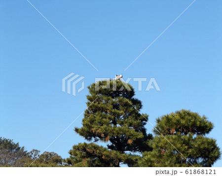 千葉公園綿打池の松の大木の上のアオサギ 61868121