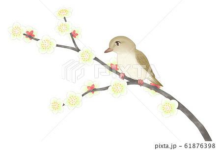 白梅の枝にウグイス 61876398