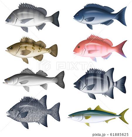 海水魚 イラスト(カラー) セット5 61885625
