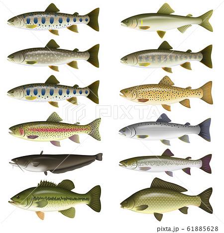 淡水魚 イラスト(カラー) セット1 61885628