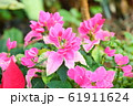 ポインセチアの花 61911624