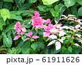 ポインセチアの花 61911626