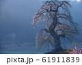 朝靄に立つ長沢のしだれ桜(広島県山県郡北広島町) 61911839