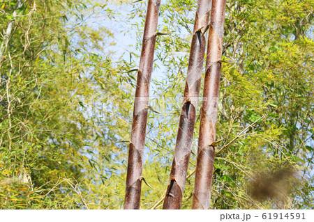 竹の子が伸びる 真直ぐ伸びる 61914591