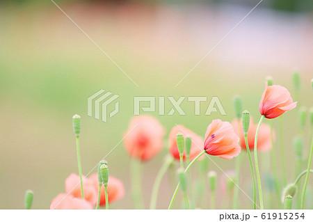 ポピー 畑の隅に咲く可愛らしいヒナゲシ 61915254