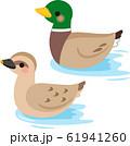 水面を泳ぐ雌と雄の鴨 61941260