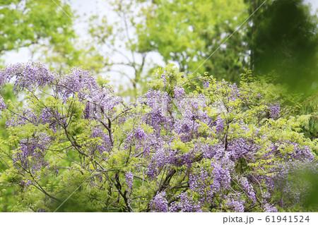 木に絡みついて咲く藤の花 61941524