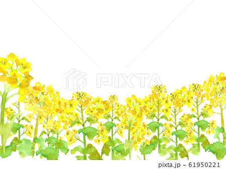 菜の花 菜の花畑 背景 イラスト 水彩 手描き  61950221