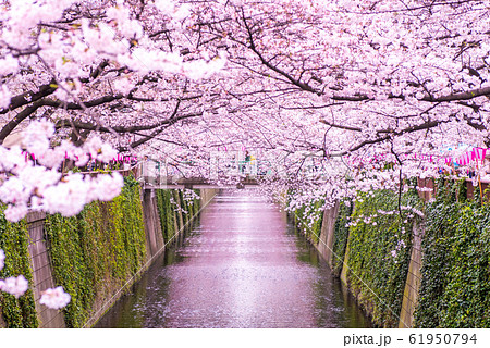 目黒川の桜 61950794
