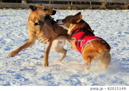 犬同士の遊び・じゃれあい 62015149