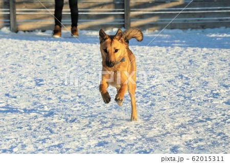 走っている犬(雑種) 62015311