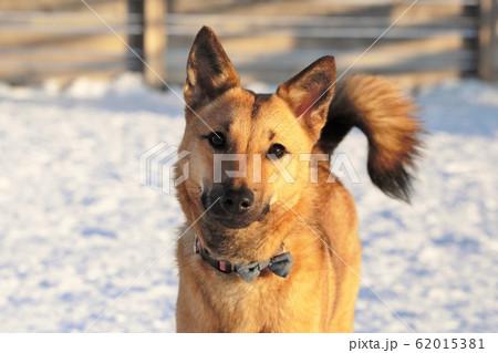 雑種の犬 62015381