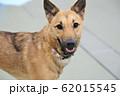 雑種の犬 62015545