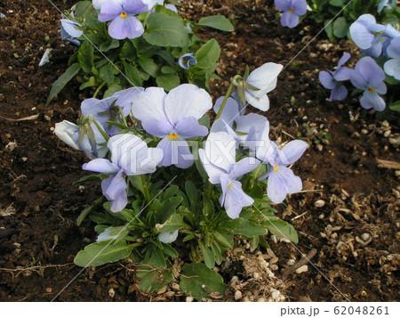 三洋メデアフラワーミュージアムの青色い花のビオラ 62048261