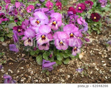 三洋メデアフラワーミュージアムの紫色い花のビオラ 62048266