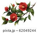 椿の花 62049244