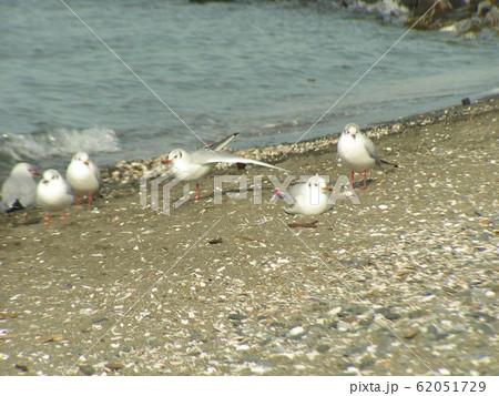 検見川浜砂浜で一休みのユリカモメ 62051729