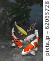 錦鯉 62065728