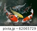 錦鯉 62065729