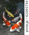 錦鯉 62065730