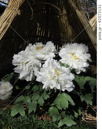 上野東照宮ぼたん苑の白色のボタンの花 62073131
