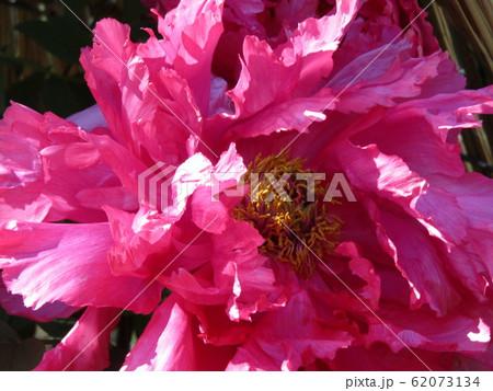 上野東照宮ぼたん苑の桃色のボタンの花 62073134