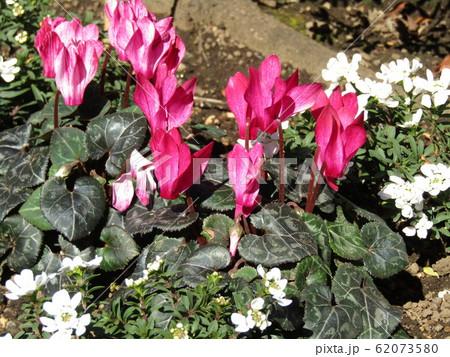上野東照宮ぼたん苑の桃色のシクラメンの花 62073580