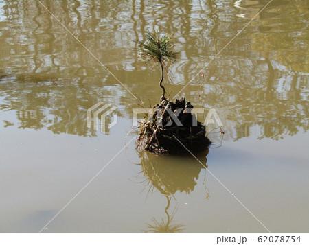 千葉公園綿打池の小さい松の盆栽 62078754
