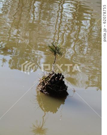千葉公園綿打池の小さい松の盆栽 62078755