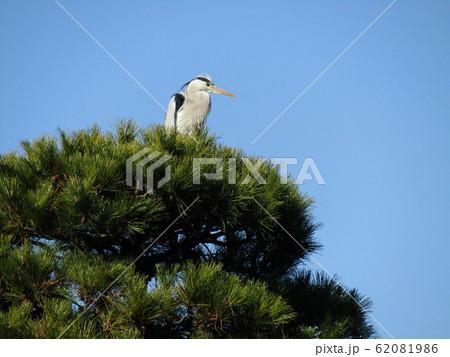 綿打池の松の木上のアオサギ 62081986