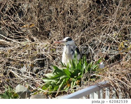 霞ヶ浦湖畔で見かけた水辺の鳥アオサギ 62082539