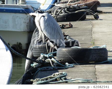 霞ヶ浦の船着場で見かけた水辺の鳥アオサギ 62082541