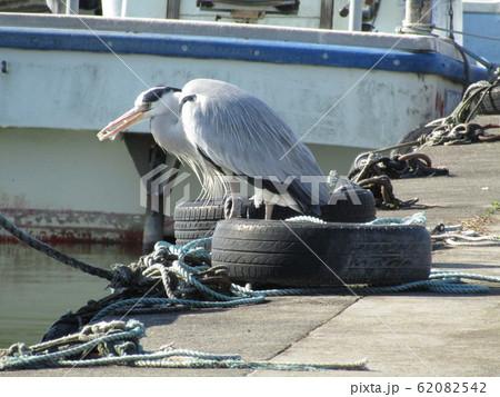 霞ヶ浦の船着場で見かけた水辺の鳥アオサギ 62082542
