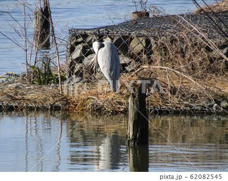 霞ヶ浦湖畔で見かけた水辺の鳥アオサギ 62082545