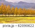 黄色く染まる秋のメタセコイア並木 62090622
