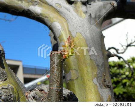 秋にには黄色い実をつけるカリンの芽吹き 62093201