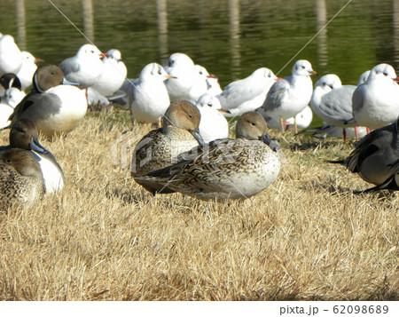 稲毛海浜公園の池に来た冬の渡り鳥オナガガモ 62098689