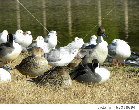 稲毛海浜公園の池に来た冬の渡り鳥オナガガモ 62098694