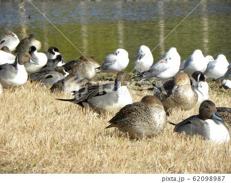 稲毛海浜公園の池に来た冬の渡り鳥オナガガモとユリカモメ 62098987