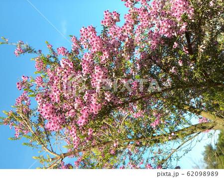可愛い小さい桃色の花ジャノメエリカ 62098989