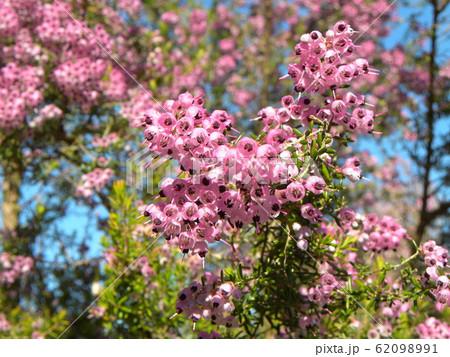 可愛い小さい桃色の花ジャノメエリカ 62098991
