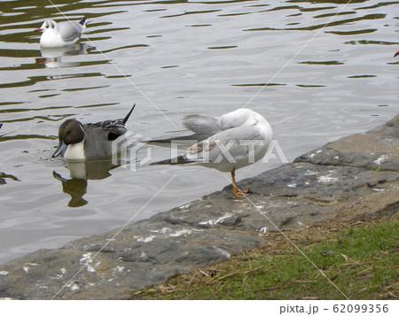 稲毛海浜公園の池に来た冬の渡り鳥オナガガモとユリカモメ 62099356