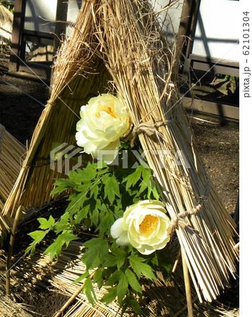 上野東照宮ぼたん苑の黄色のボタンの花 62101304