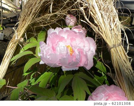 上野東照宮ぼたん苑の桃色のボタンの花 62101308