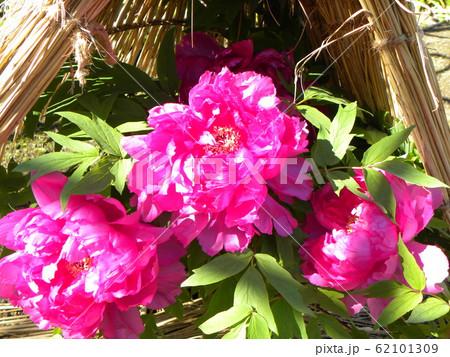 上野東照宮ぼたん苑の桃色のボタンの花 62101309