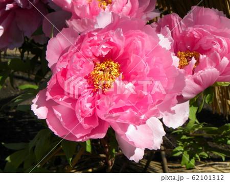 上野東照宮ぼたん苑の桃色のボタンの花 62101312