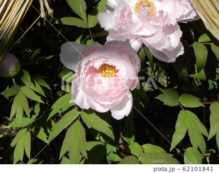 上野東照宮ぼたん苑の桃色のボタンの花 62101841